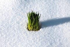 Herbe verte dans la neige Photos stock