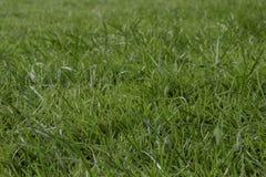 Herbe verte de blé images stock