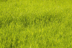 Herbe verte de Brght Images stock