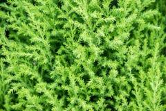 Herbe verte de buisson vert Photo stock