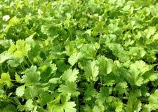Herbe verte de cilantro de coriandre s'élevant commercialement Photographie stock libre de droits