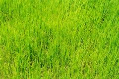 Herbe verte de gisement de riz pour le fond de nature image stock
