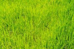 Herbe verte de gisement de riz pour le fond de nature images stock