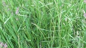 Herbe verte de glomerata de Dactylis de dactyle pelotonné dans la longueur de fermeture d'appareil-photo vertical de panorama de  banque de vidéos