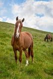 Herbe verte de l'Ukraine Karpaty frôlant des chevaux sous le ciel bleu Photo libre de droits
