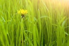 Herbe verte de pissenlit au printemps Photo stock