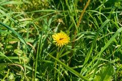 Herbe verte de pissenlit et d'abeille pendant l'après-midi Image stock