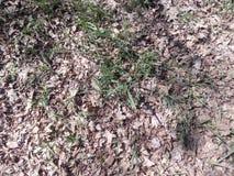 Herbe verte de ressort faisant leur voie par la terre avec les feuilles tombées jaunes Photographie stock libre de droits