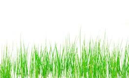 Herbe verte de ressort frais d'isolement sur le fond blanc Images libres de droits