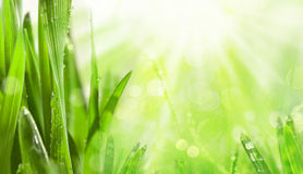 Herbe verte de source Photo stock