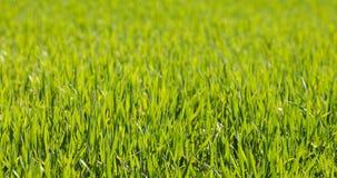 Herbe verte de source Photo stock