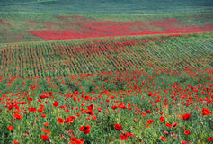 Herbe verte et fleurs rouges Images stock