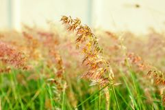 Herbe verte et fleurs Thaïlande d'herbe photographie stock libre de droits
