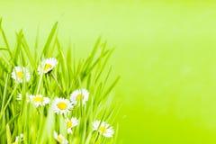 Herbe verte et marguerite Photo stock