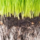 Herbe verte et sol d'un pot Photos stock