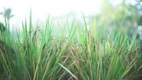 Herbe verte, fin de riz en rosée banque de vidéos