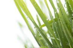 Herbe verte fraîche avec des baisses de l'eau d'isolement sur le blanc Photographie stock libre de droits
