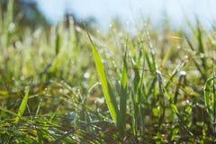 Herbe verte fraîche avec des baisses de rosée dans la fin de matin  Fond de nature photographie stock libre de droits