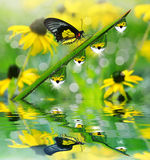 Herbe verte fraîche avec des baisses de rosée et papillon photo stock