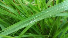 Herbe verte fraîche avec la texture de fond de nature de l'eau de baisse photos stock