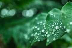 Herbe verte fraîche avec le plan rapproché de baisses de rosée Fond de nature Photos stock