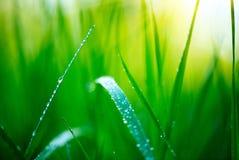Herbe Herbe verte fraîche de ressort avec le plan rapproché de baisses de rosée Orientation molle Fond abstrait de nature Image libre de droits