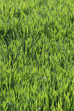 Herbe verte fraîche pour le fond Image stock
