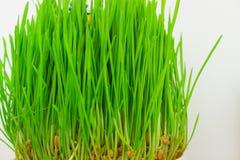 Herbe verte fraîche sur le fond blanc Image stock