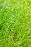 Herbe verte fra?che avec la ros?e Fond de fines herbes vert naturel Vue au ch?teau de patrimoine mondial de Cesky Krumlov Nature  photographie stock libre de droits