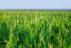 Herbe verte, herbe fraîche Photographie stock libre de droits