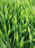 Herbe verte humide Photo libre de droits