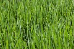 Herbe verte juteuse fraîche sur le fond de champ photographie stock libre de droits