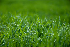 Herbe verte luxuriante avec des baisses Photos stock