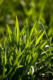 Herbe verte neuve Photos libres de droits