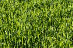Herbe verte normale Photographie stock