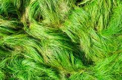 Herbe verte normale Photos libres de droits