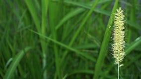 Herbe verte qui se d?veloppe comme la zizanie dans des domaines de riz image stock