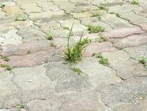 Herbe verte s'élevant par la couture de la rue de brique Photos stock
