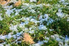 Herbe verte sous la neige Photographie stock