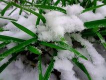 Herbe verte sous la neige Photo stock