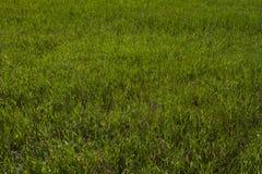 Herbe verte sur la pelouse, texture d'herbe Photos stock