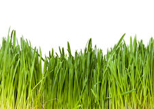 Herbe verte sur le fond blanc Photo stock