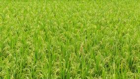 Herbe verte sur le gisement de riz au jour ensoleillé nature Image libre de droits