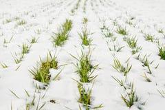 Herbe verte sur une zone couverte de neige Image libre de droits