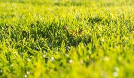 Herbe verte un matin de ressort avec des baisses de rosée sur des lames photographie stock