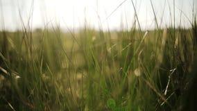 Herbe verte vibrante lumineuse en plan rapproché de jour ensoleillé banque de vidéos