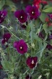 Herbe violette avec les fleurs pourpres Photographie stock