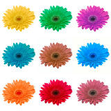 Herbera. Multicolored herbera isolated on the white background Royalty Free Stock Photos