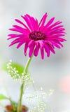 Herbera. Bouquet spring herbera in spring Stock Photo