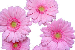 Herbera. Pink herbera flowers isolated on a white background Royalty Free Stock Images